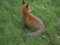 Líška